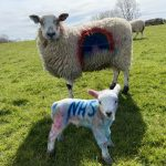 Two sheep, one with a rainbow sprayed on the side and one with the word NHS